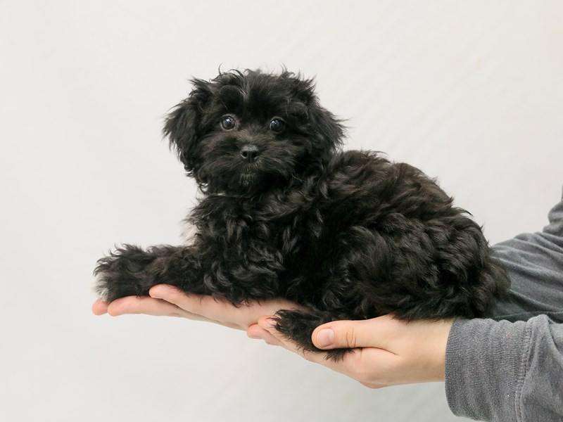 Pekeapoo-Female-Black-2800700-My Next Puppy