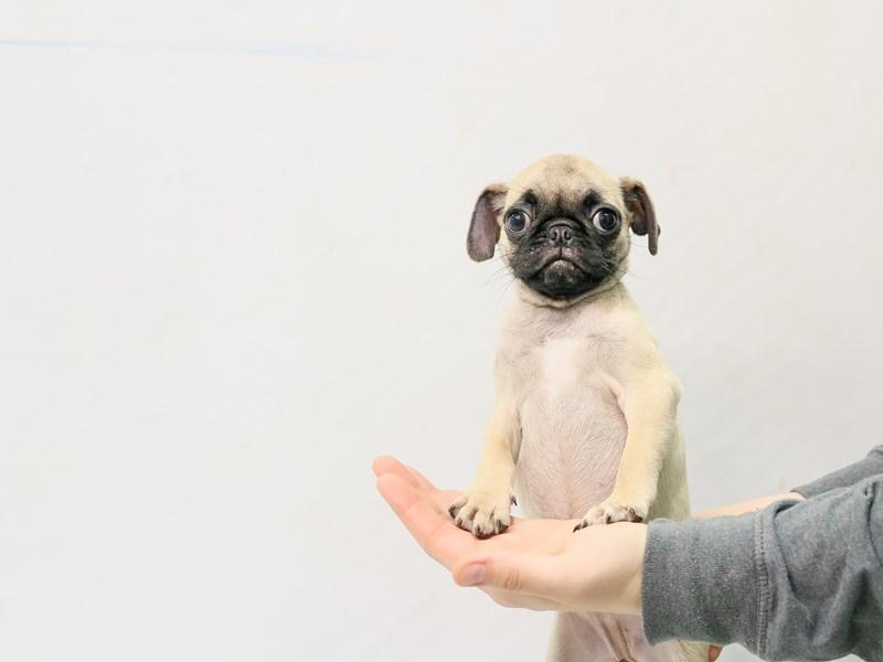 Pug – Miranda