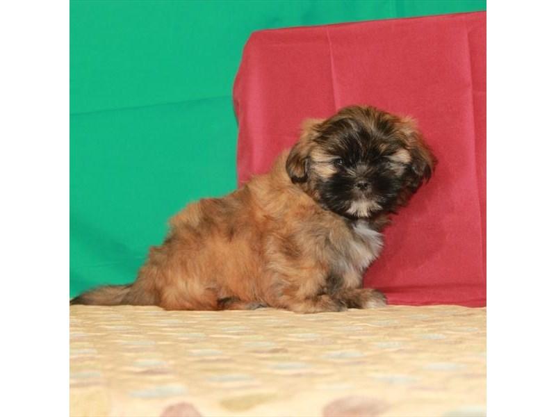 Shih Tzu-Female-Gold-2807857-My Next Puppy