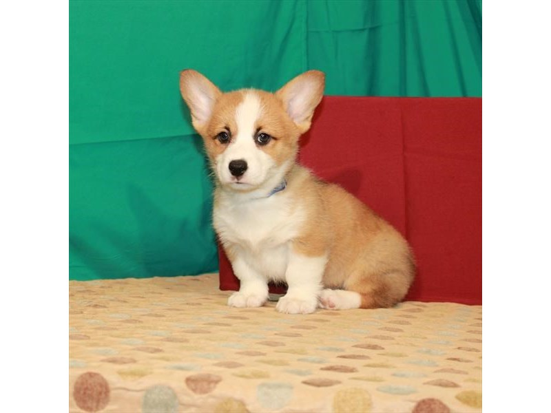 Pembroke Welsh Corgi-Male-Red-2807867-My Next Puppy
