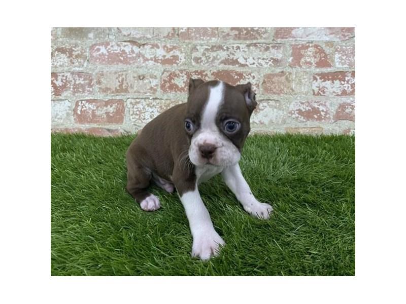 Boston Terrier – Mykonos