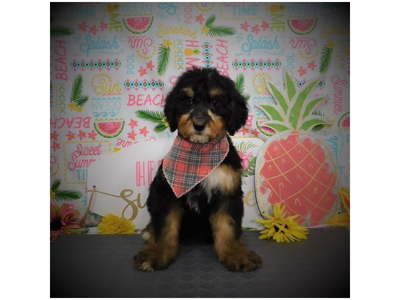 Bernedoodle-Male-Black / Tan-2817146-My Next Puppy