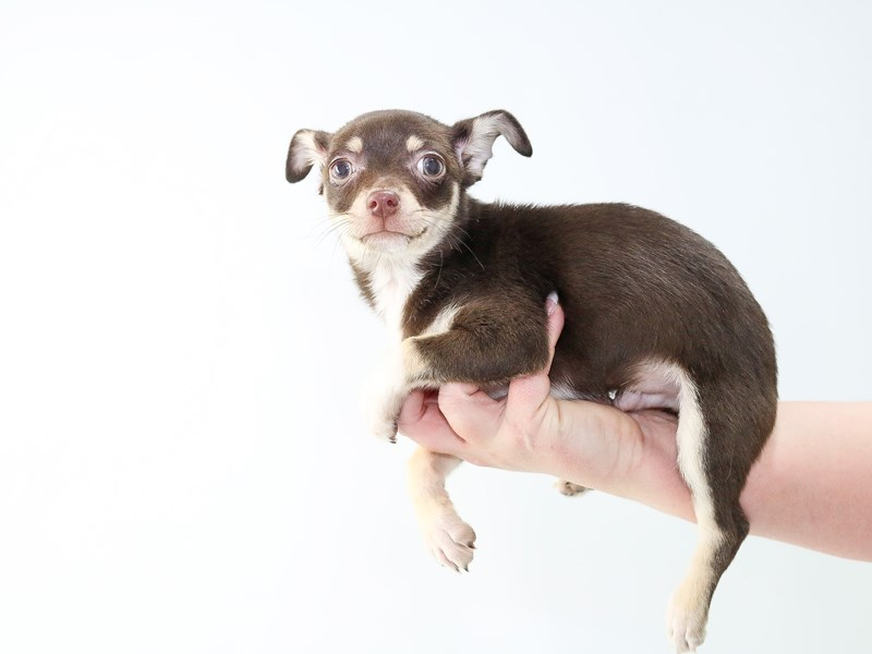 Teacup Chihuahua-Male-Chocolate and Tan-2709930-My Next Puppy