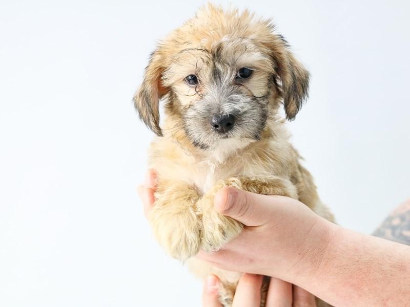 Yorkichon-Male-BEIGE-2713329-My Next Puppy