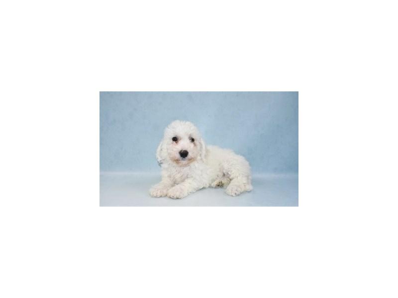 Bichon Frise-Female-White-2721536-My Next Puppy