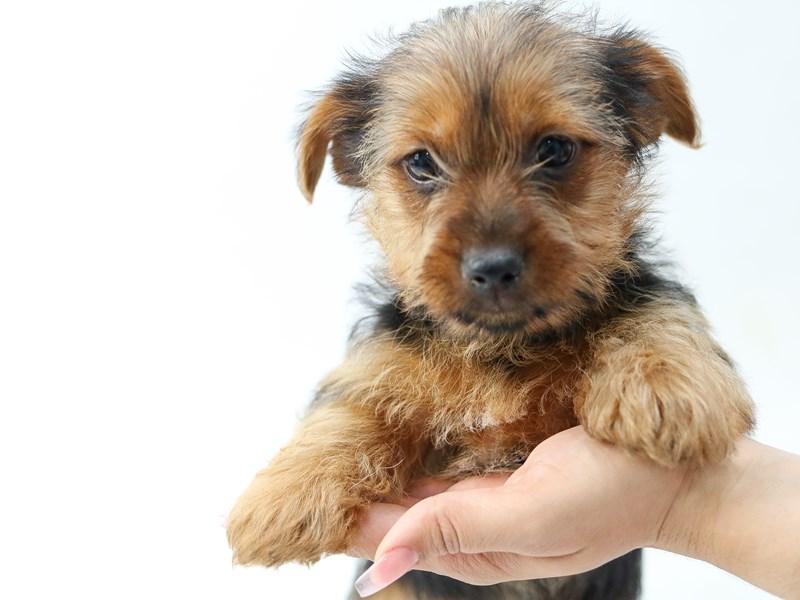 Yorkshire Terrier – Balsamic