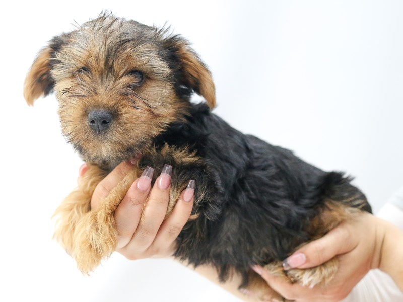 Yorkshire Terrier – Oyster