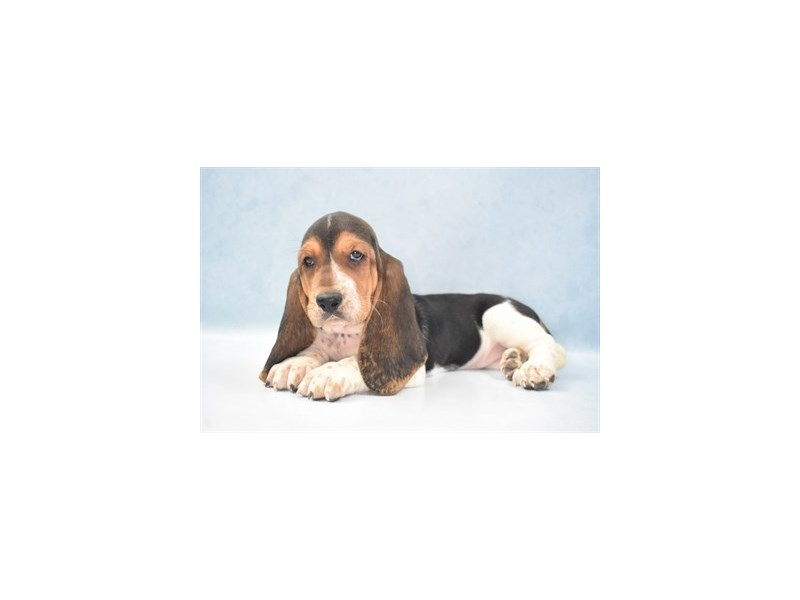 Basset Hound-Female-Black White and Tan-2743049-My Next Puppy