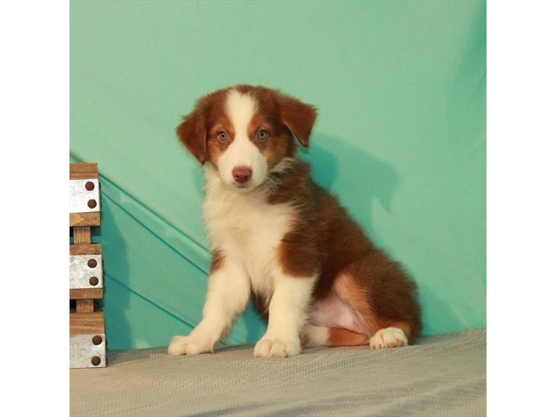 Australian Shepherd-Female-Red-2750865-My Next Puppy