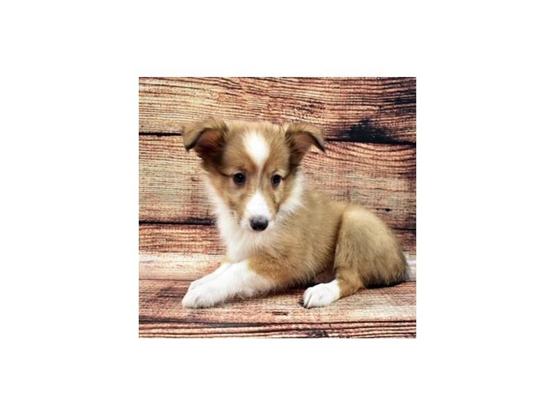 Shetland Sheepdog-Female-Sable and White-2757833-My Next Puppy