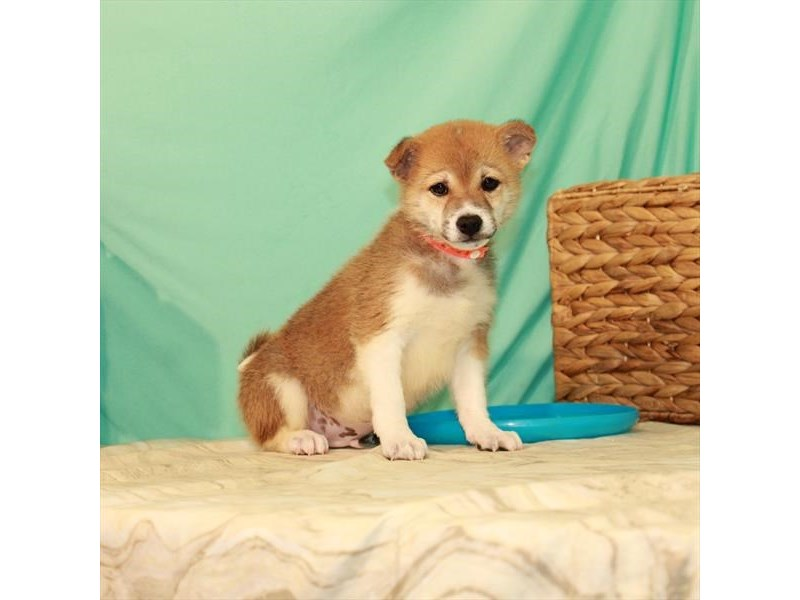 Shiba Inu-Male-Red Sesame / White-2759693-My Next Puppy