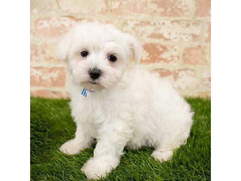 Maltese-Male-White-2759734-My Next Puppy