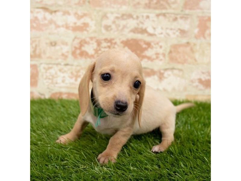 Dachshund-Female-Fawn (Isabella) / Tan-2759735-My Next Puppy