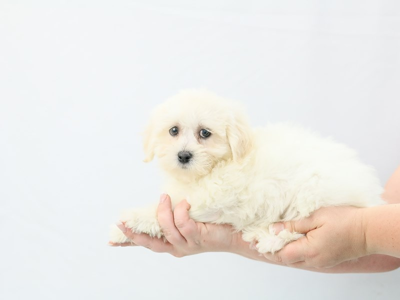 Teddy Bear-Female-white-2761390-My Next Puppy