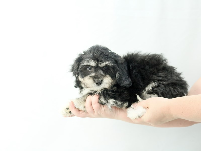 Teddy Bear-Male-Black and Tan-2761380-My Next Puppy