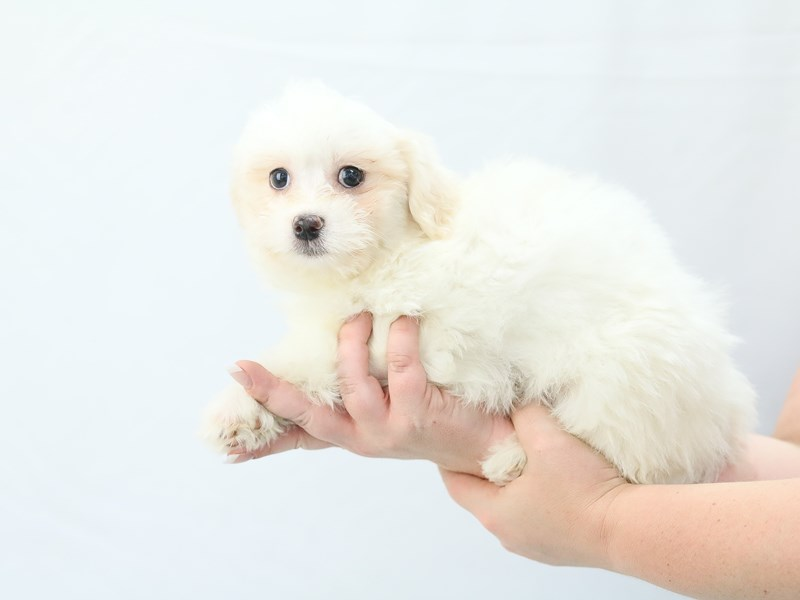 Teddy Bear-Female-white-2761346-My Next Puppy