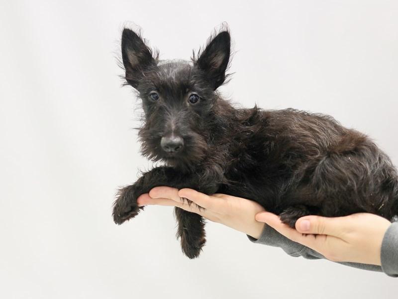 Scottish Terrier – Naveen