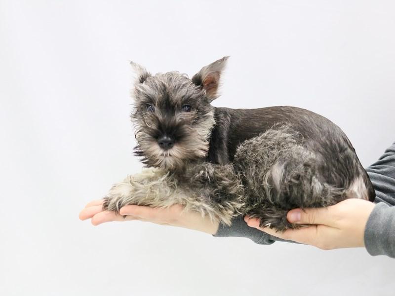Miniature Schnauzer-Male--2784192-My Next Puppy