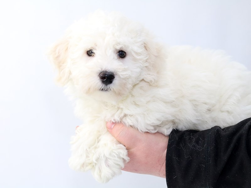 Bichon Frise-Female-White-2757829-My Next Puppy