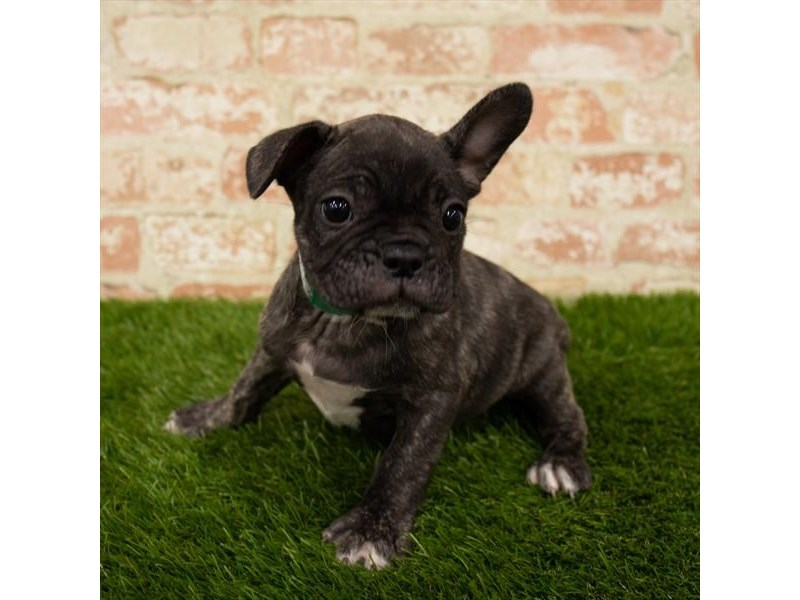 French Bulldog-Female-Brindle-2787746-My Next Puppy