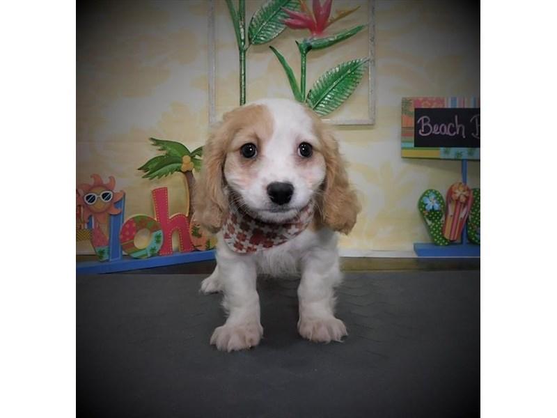 Cavachon-Male-Blenheim-2787757-My Next Puppy