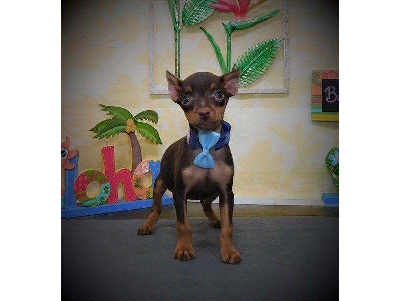Miniature Pinscher-Female-Chocolate / Rust-2787761-My Next Puppy
