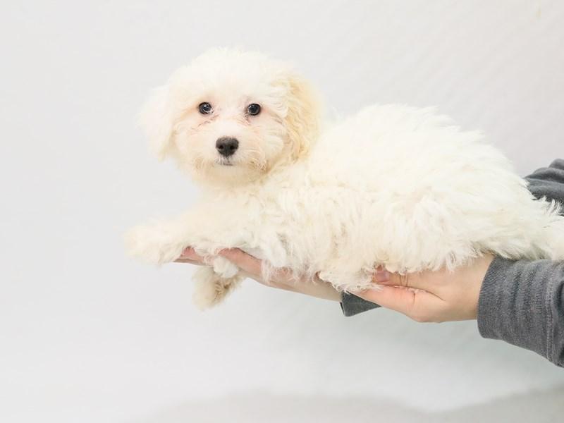 Bichon Frise-Female-White / Cream-2800696-My Next Puppy
