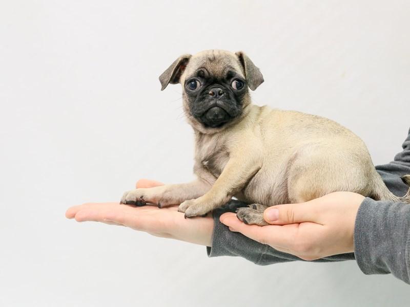 Pug-Female-Fawn-2800697-My Next Puppy