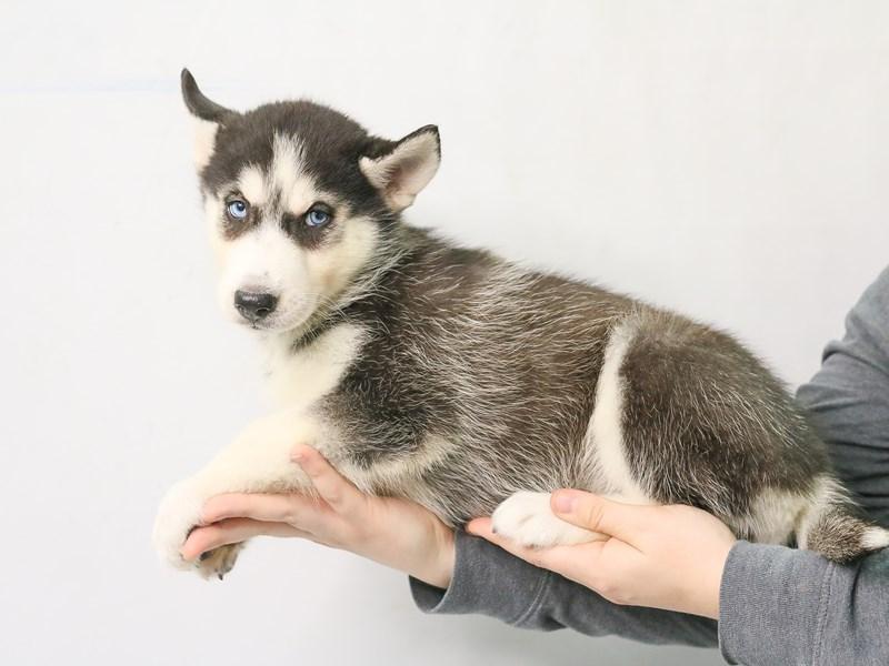 Siberian Husky – Tao