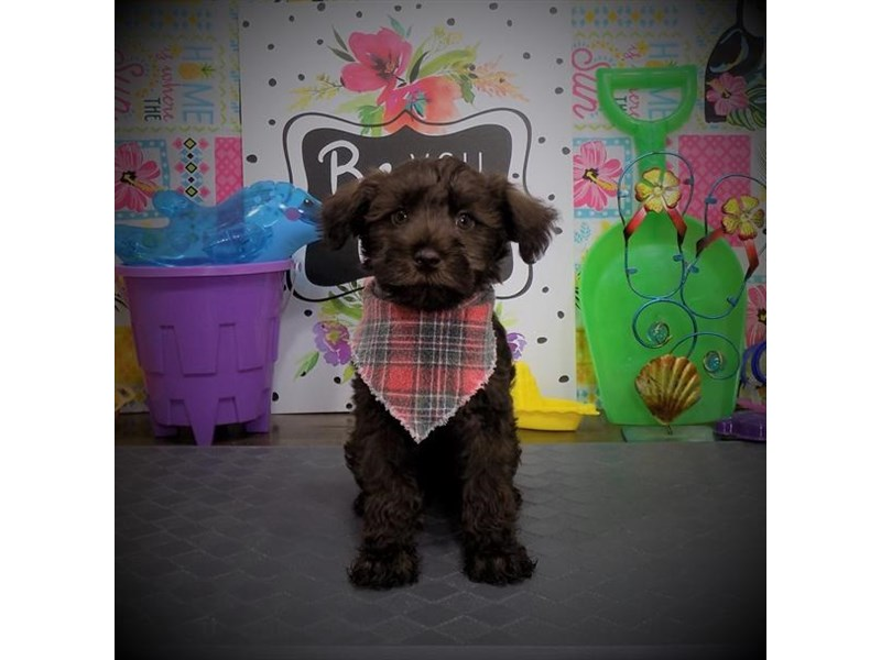 Schnoodle-Male-Chocolate-2817145-My Next Puppy