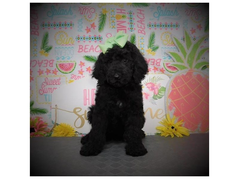 Poodle Standard-Female-Black-2817147-My Next Puppy