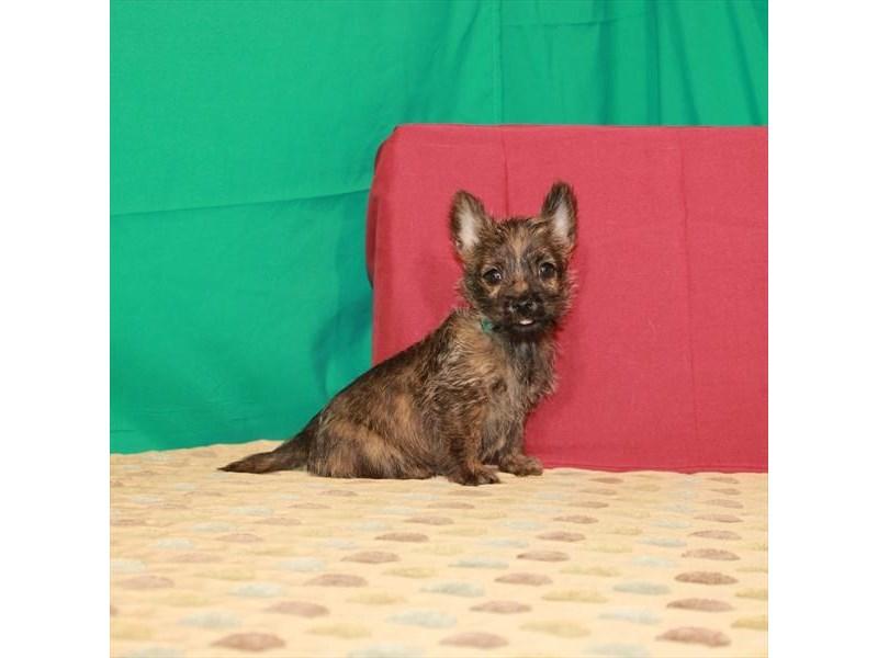 Cairn Terrier-Female-Wheaten-2817152-My Next Puppy