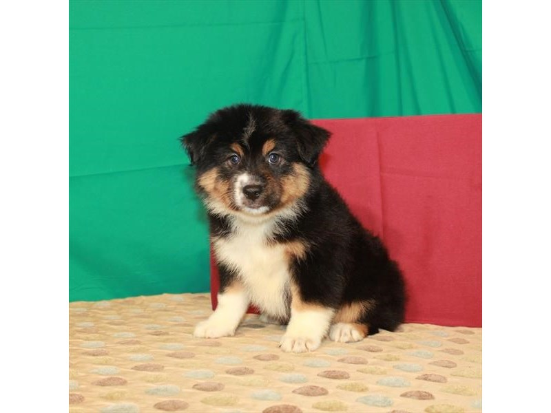Australian Shepherd-Female-Black-2817153-My Next Puppy