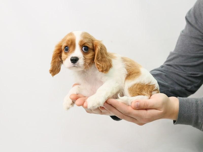 Cavalier King Charles Spaniel-Male-BLENHEIM-2815677-My Next Puppy