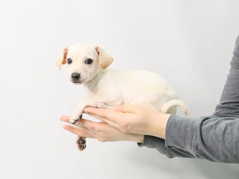 Chiweenie-Female-Cream-2828171-My Next Puppy