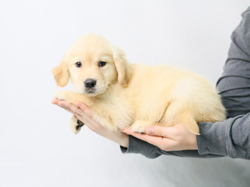 Golden Retriever-Female-Light Golden-2828174-My Next Puppy