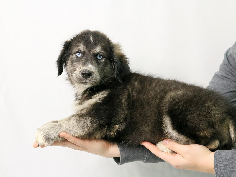Shepsky-Female-Black / Tan-2828183-My Next Puppy
