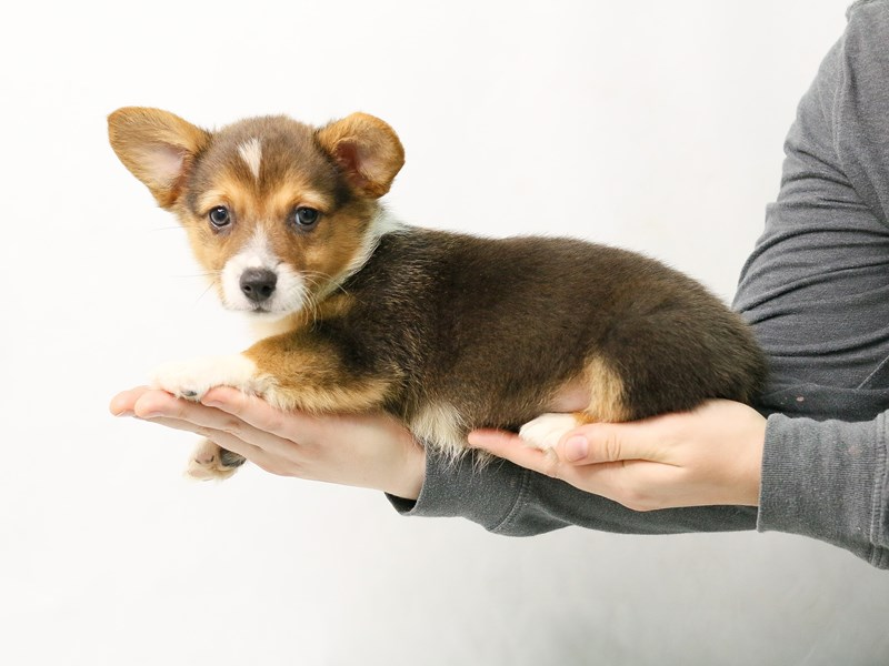 Pembroke Welsh Corgi-Female-Black White / Tan-2828190-My Next Puppy