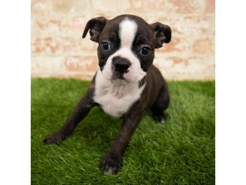 Boston Terrier – Brady