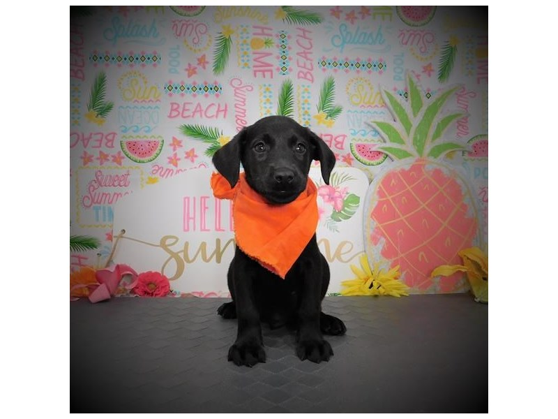 Labrador Retriever-Male-Black-2832378-My Next Puppy