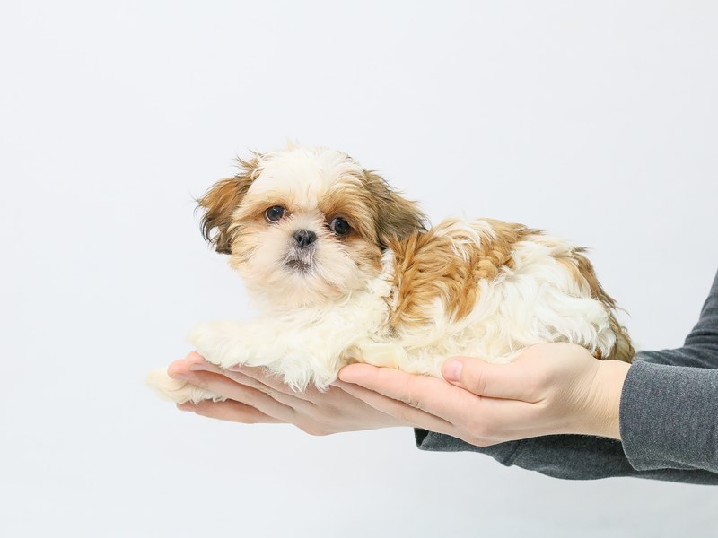 Shih Tzu-Male-Gold / White-2839558-My Next Puppy