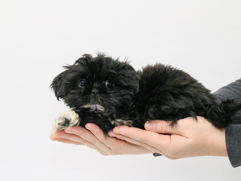 Shih Tzu-Male-Black-2839555-My Next Puppy