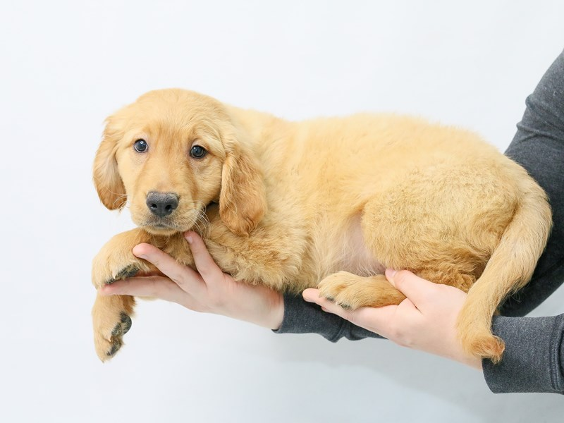 Golden Retriever-Male-Dark Golden-2839559-My Next Puppy