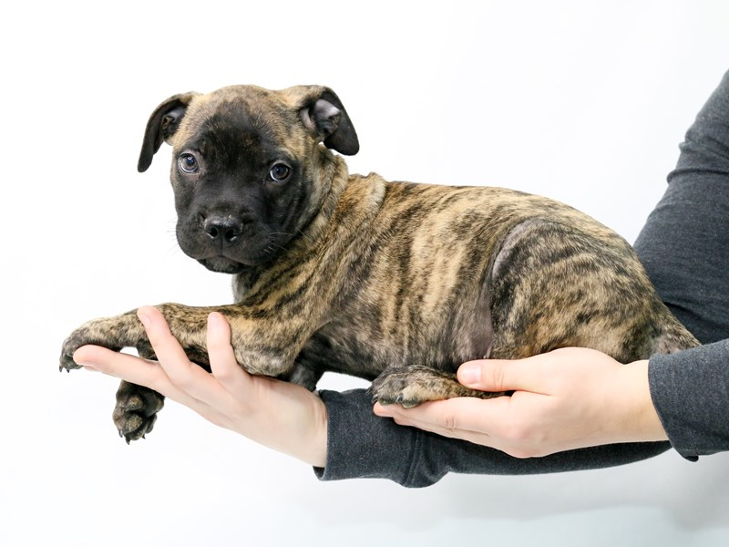 Bullmastiff-Male-Brindle-2839565-My Next Puppy