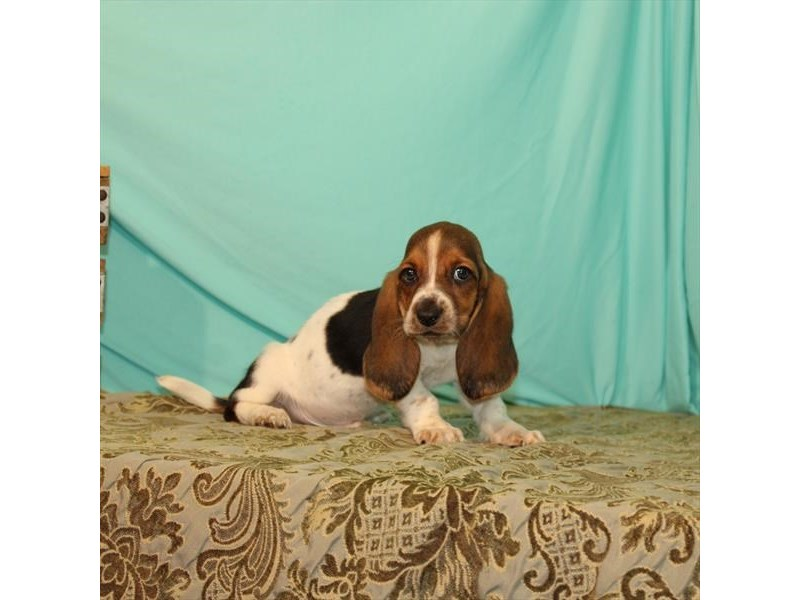 Basset Hound-Male-White Black / Tan-2722465-My Next Puppy