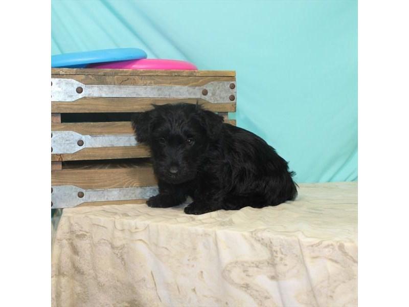 Scottish Terrier-Male-Brindle-2764504-My Next Puppy