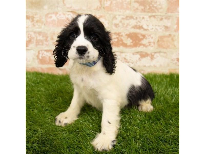 Cocker Spaniel-Female-Black / White-2764528-My Next Puppy