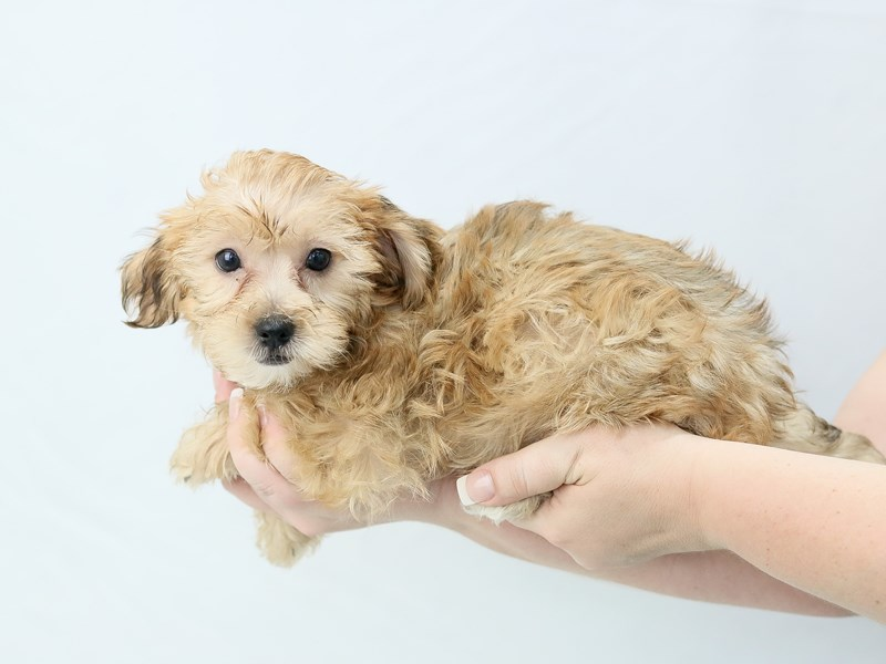 Morkie-Female-blonde-2761291-My Next Puppy