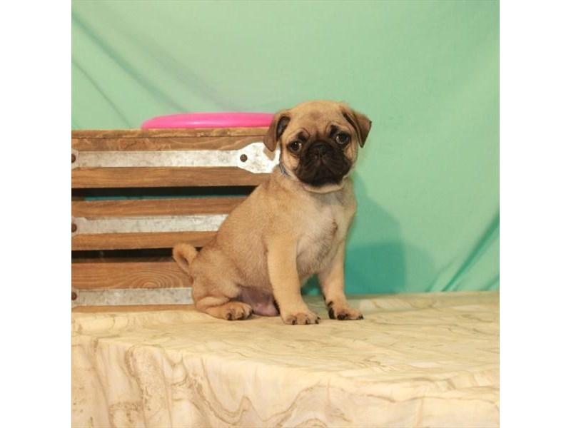 Pug-Male-Fawn-2774030-My Next Puppy