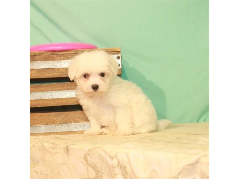 Maltese-Male-White-2779816-My Next Puppy